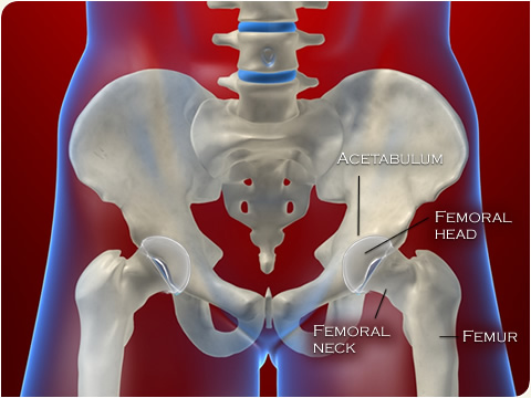Anatomy of the hip